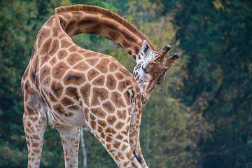 Giraffe heeft jeuk van melvin leloup