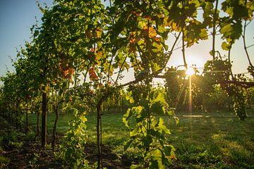 Vignoble au lever du soleil sur Annemarie Goudswaard