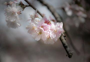 Magische Kirschblüte im Frühling von Ella Schnur
