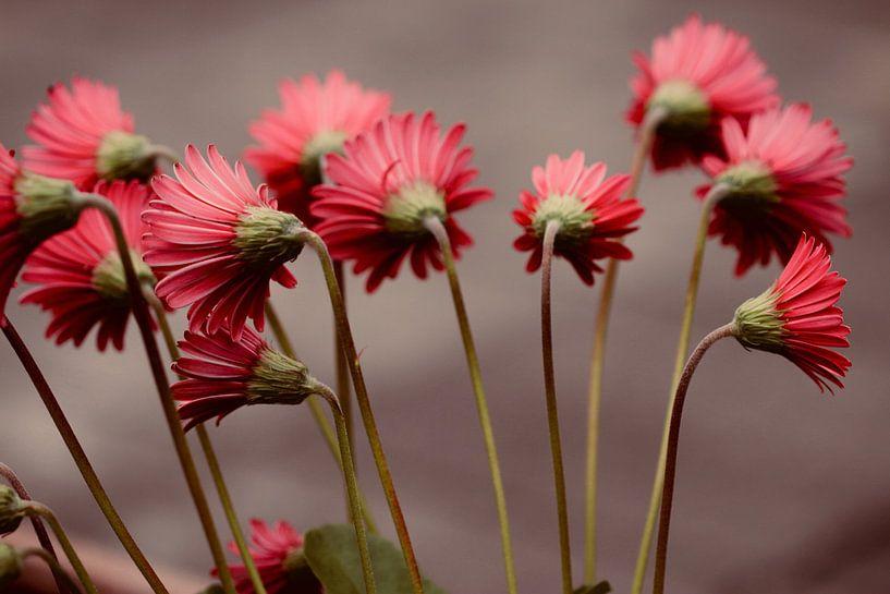 Close-up rode gerbera's met lange stengel van Klik! Images