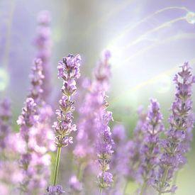 Lavendel Blüte des Sommers von Tanja Riedel