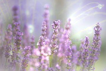 Lavendelbloesem van de zomer van Tanja Riedel