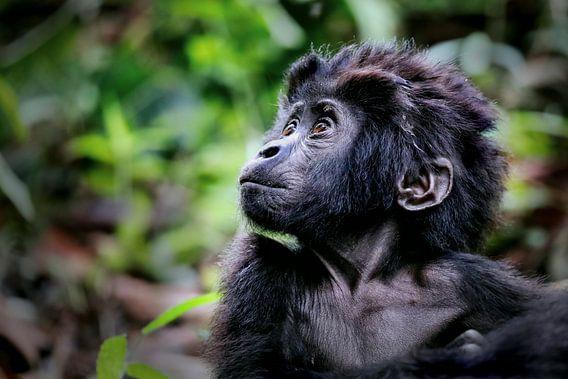 Junger Berggorilla, wildlife in Uganda