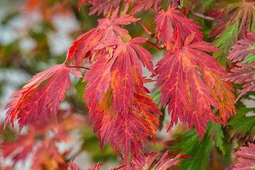 rood gekleurde herfstbladeren van mick agterberg