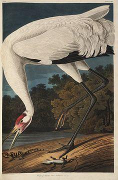 Trompetkraanvogel - Teylers Edition -  Birds of America, John James Audubon van Teylers Museum