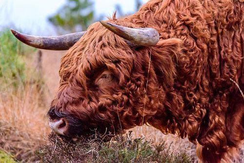 Schotse hooglander van Edwin van Zevenbergen