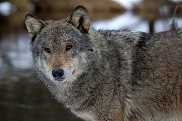 wolf von Ronald Jansen