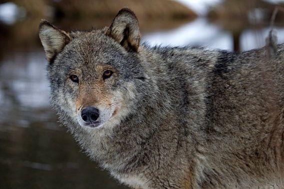 wolf van Ronald Jansen
