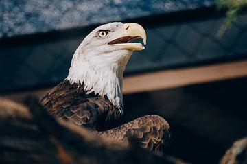 Adler von YesItsRobin