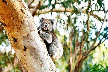 Koala in de boom van Robert Styppa