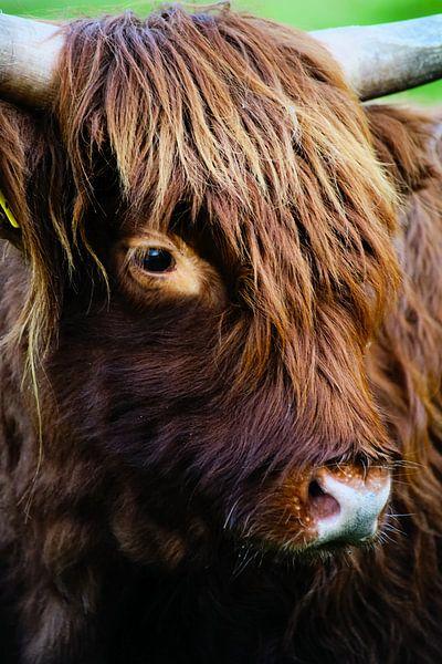 Close-up van een Schotse Hooglander van Foto Graaf Eric