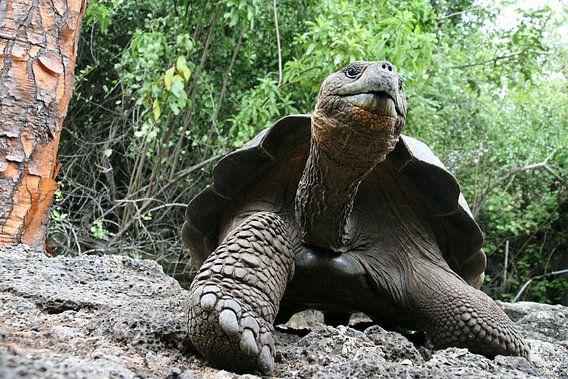 Galapagos reuzenschildpad van Antwan Janssen