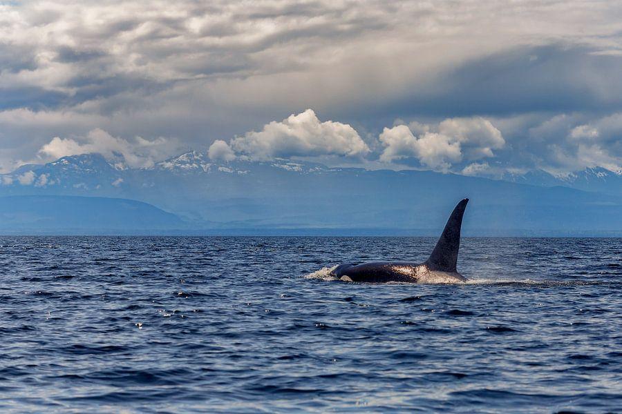 Een orka komt boven met de grote rugvin van Menno Schaefer