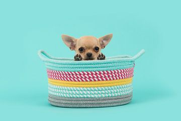 Chihuahua puppy in mandje / Cute brown chihuahua puppy dog in a colored basket looking over