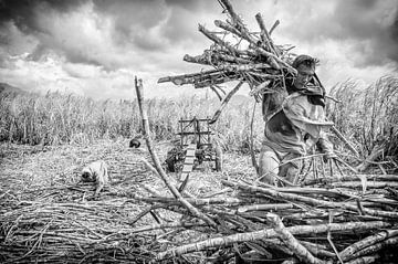 Suikerruit oogst von Eric Verdaasdonk