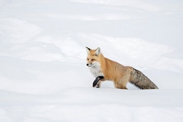 Fuchs / Rotfuchs ( Vulpes vulpes ) im Winter, läuft durch hohen Schnee, , Yellowstone NP,  USA. von wunderbare Erde