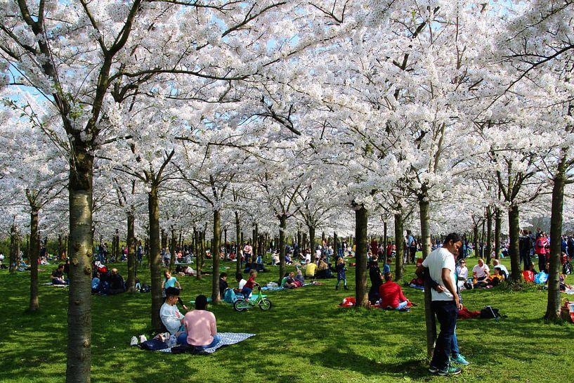 japanse kersenbloesem van Geert Heldens