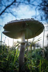 Pilz im Licht von Amber van der Velden