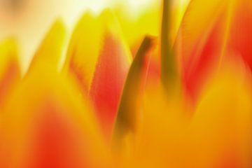 Tulpen, Tulpen, Blumen, von Wilhelmien  Marti