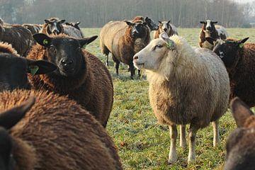 Bonte schapen von Jojanneke Vos