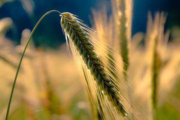Getreidefeld von Stedom Fotografie
