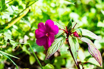 Tropische paarse bloem uit de Amazone Jungle van Peru, Zuid Amerika van John Ozguc