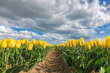 Gele tulpen van eric van der eijk