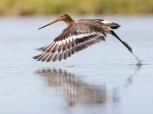Vögel   Ein Uferschnepfe fliegt aus dem Wasser