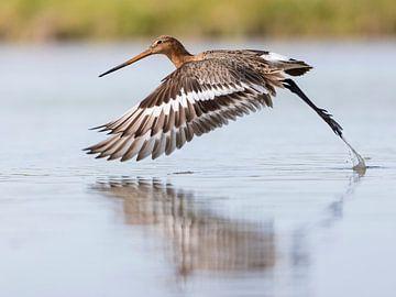 Oiseaux | Un Barge à queue noire s'envole de l'eau sur Servan Ott