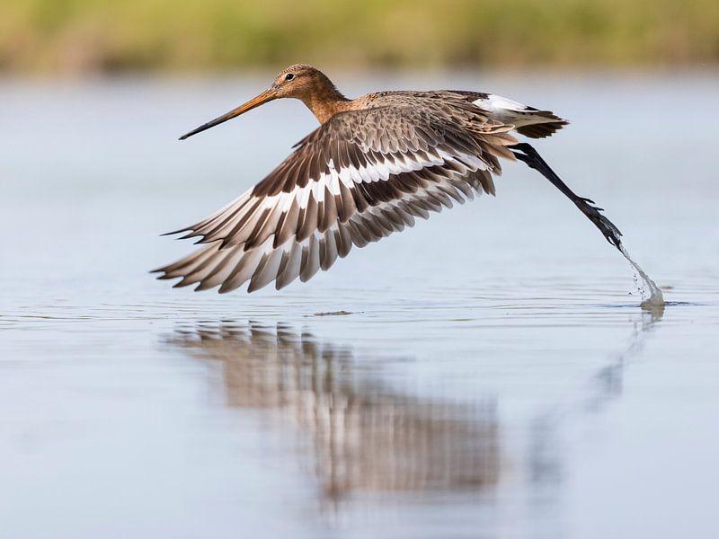 Vögel   Ein Uferschnepfe fliegt aus dem Wasser von Servan Ott