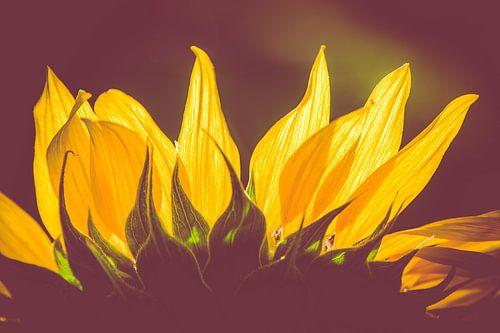 sunflower van MR OPPX
