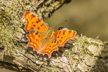 Vlinders van