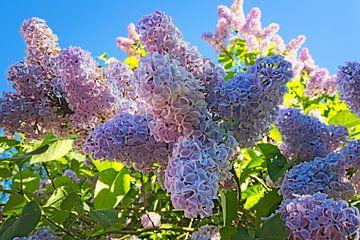 Een seringenboom geeft geur en bloemen in de lente van Leon Eikenaar