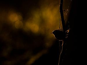 Winterkoninkje met tegenlicht