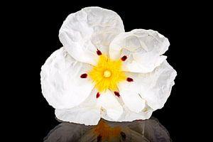 Wilde rots roos close up - Cistus ladanifer