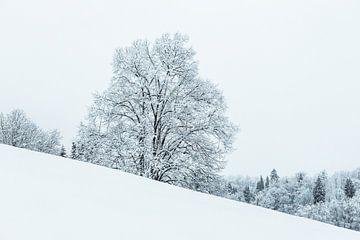 Besneeuwde boom op een helling
