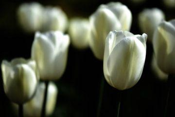 Witte tulpen II van Jessica Berendsen