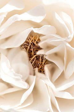 Witte roos van Dominique van Ojik
