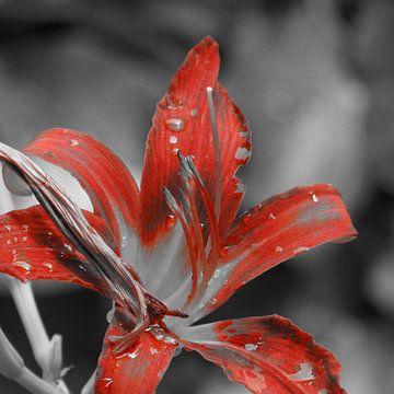 De rode kleur van een plant in zwart-wit van Wilbert Van Veldhuizen