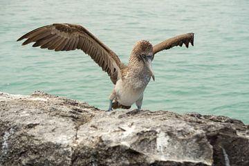 Blauwvoetgent op de Galápagoseilanden sur Sandra van der Ende