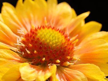 gaillardia bloem van Marieke Funke
