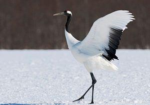 Chinese Kraanvogel, Red-crowned Crane, Grus japonensis