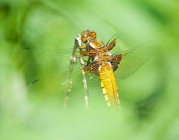 Vier-Punkt-Libelle in Lelystad durch das Blatt von Bianca Fortuin