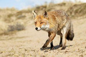 Fuchs bei einem Spaziergang in den Dünen von Andius Teijgeler