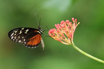 Vlinder op bloem sur Edwin Butter