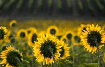 Sonnenblumen von Frans Scherpenisse