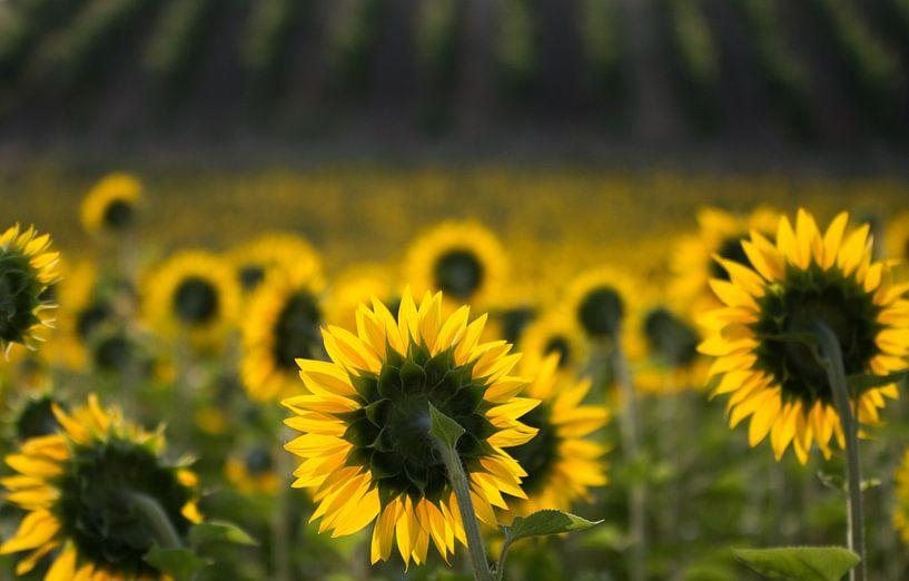 zonnebloemen van Frans Scherpenisse