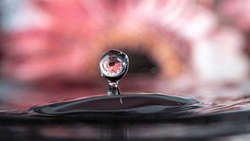 een gerbera bloem reflecteert in de gevallen waterdruppel; timing is soms een kwestie van geluk van Studio de Waay