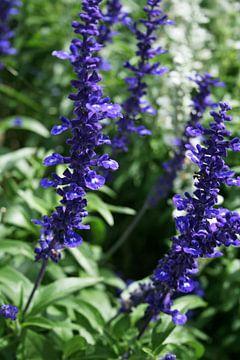 Lavendel van Lila Lizz