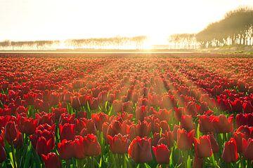 Tulpen in de zon van Jim Looise